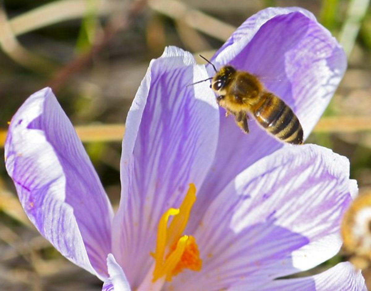 Honeybee on Purple Flower