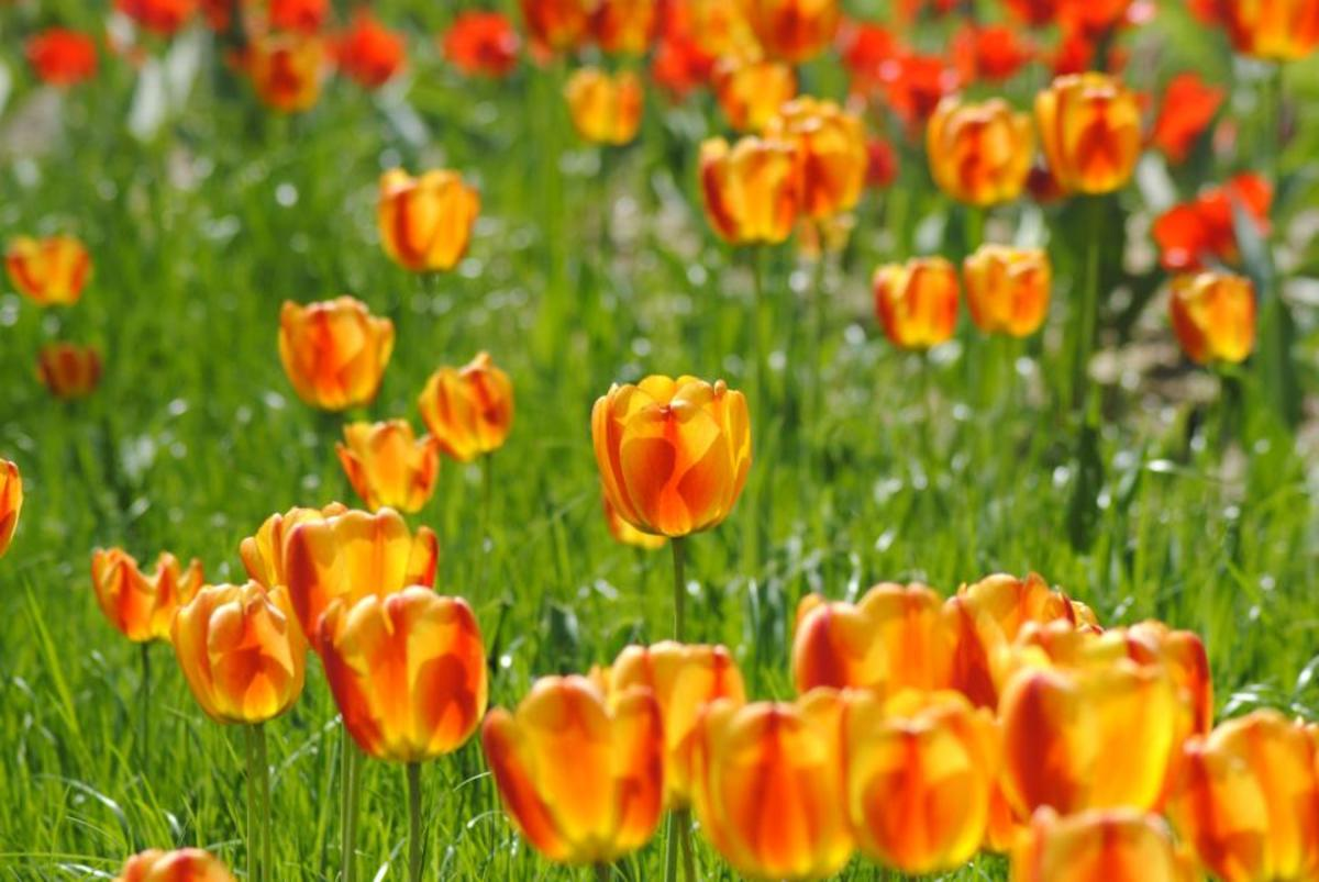 Orange Tulips Blooming