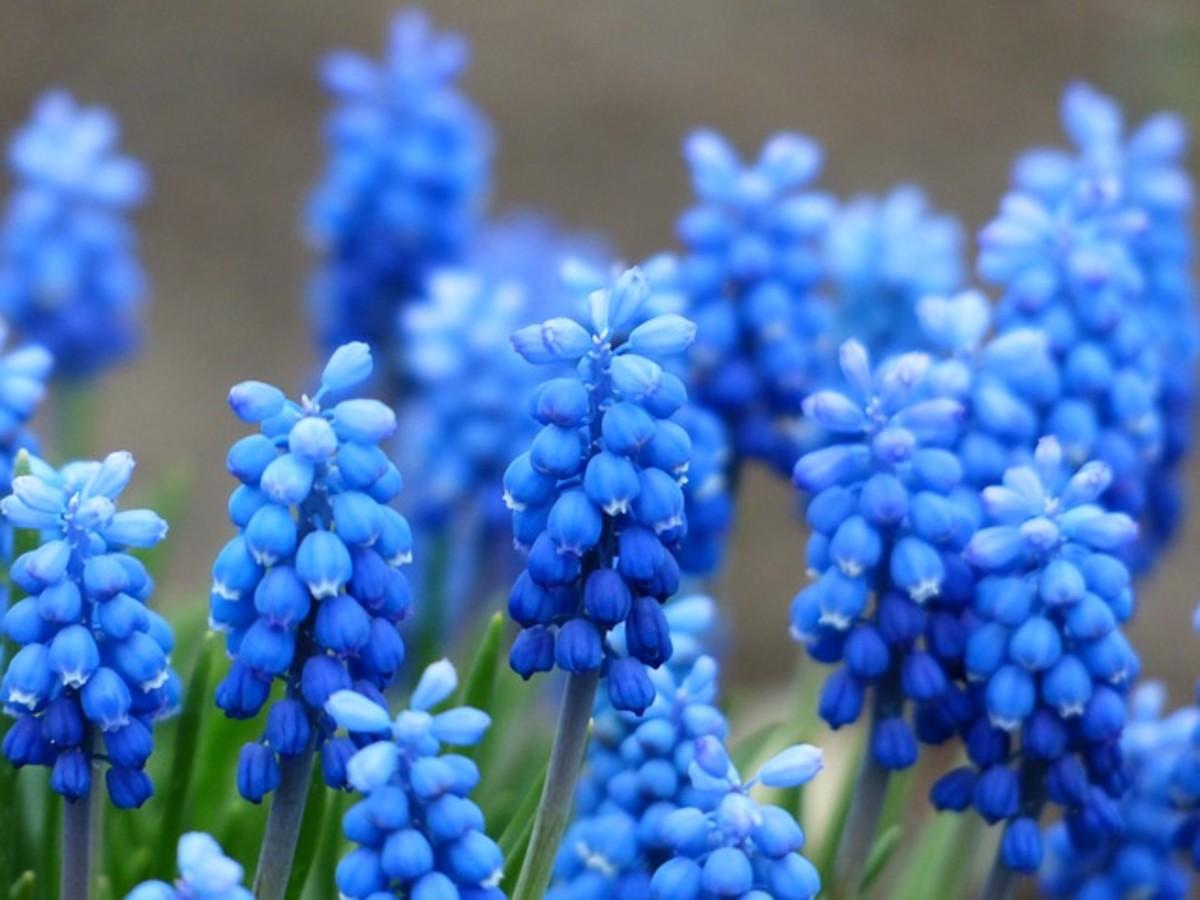 Blue Hyacinths