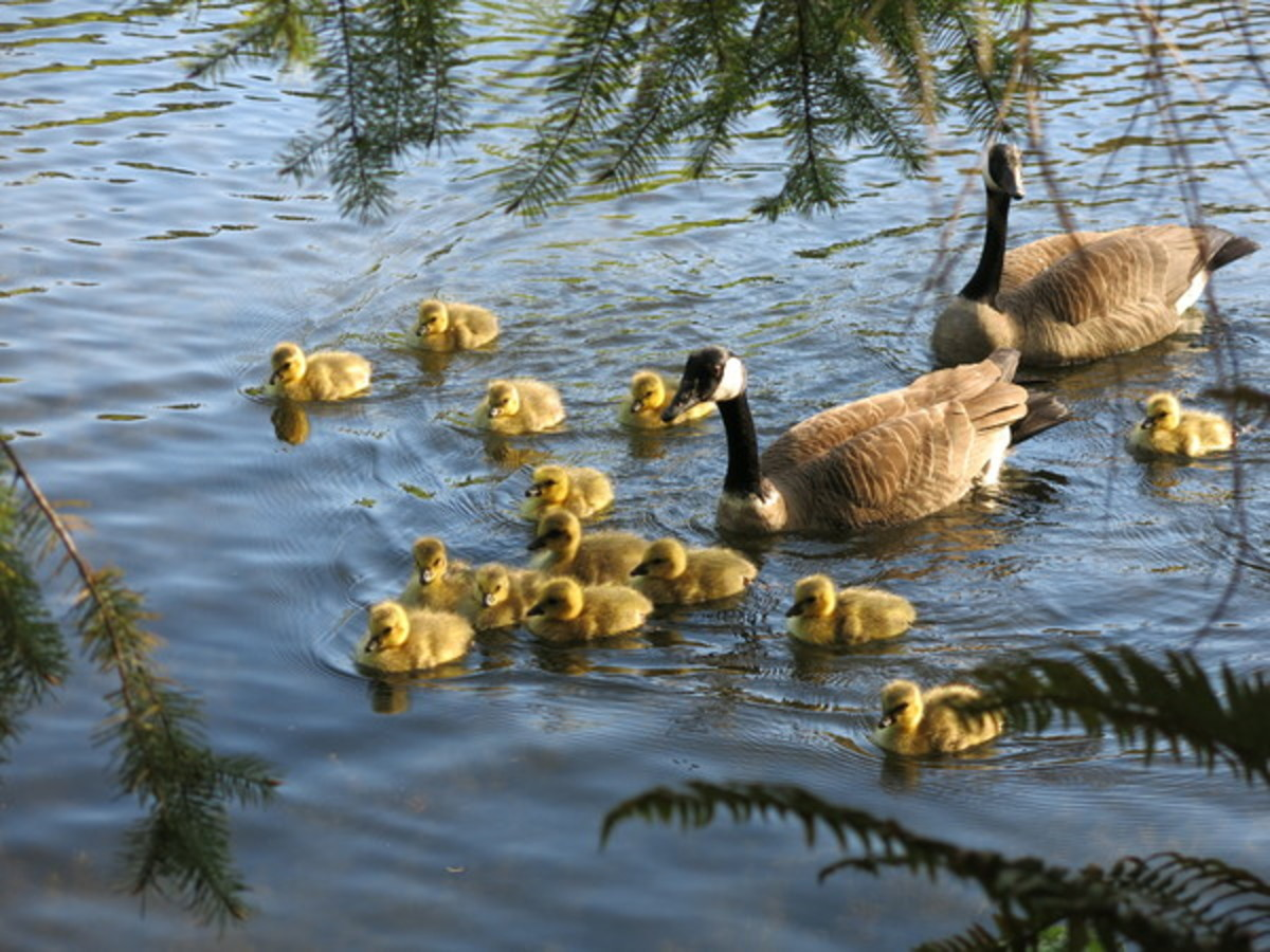 Geese and Goslings Swimming to Shore
