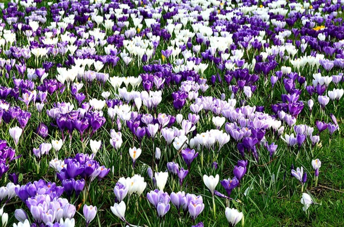 Purple, Violet and White Crocus Flowers