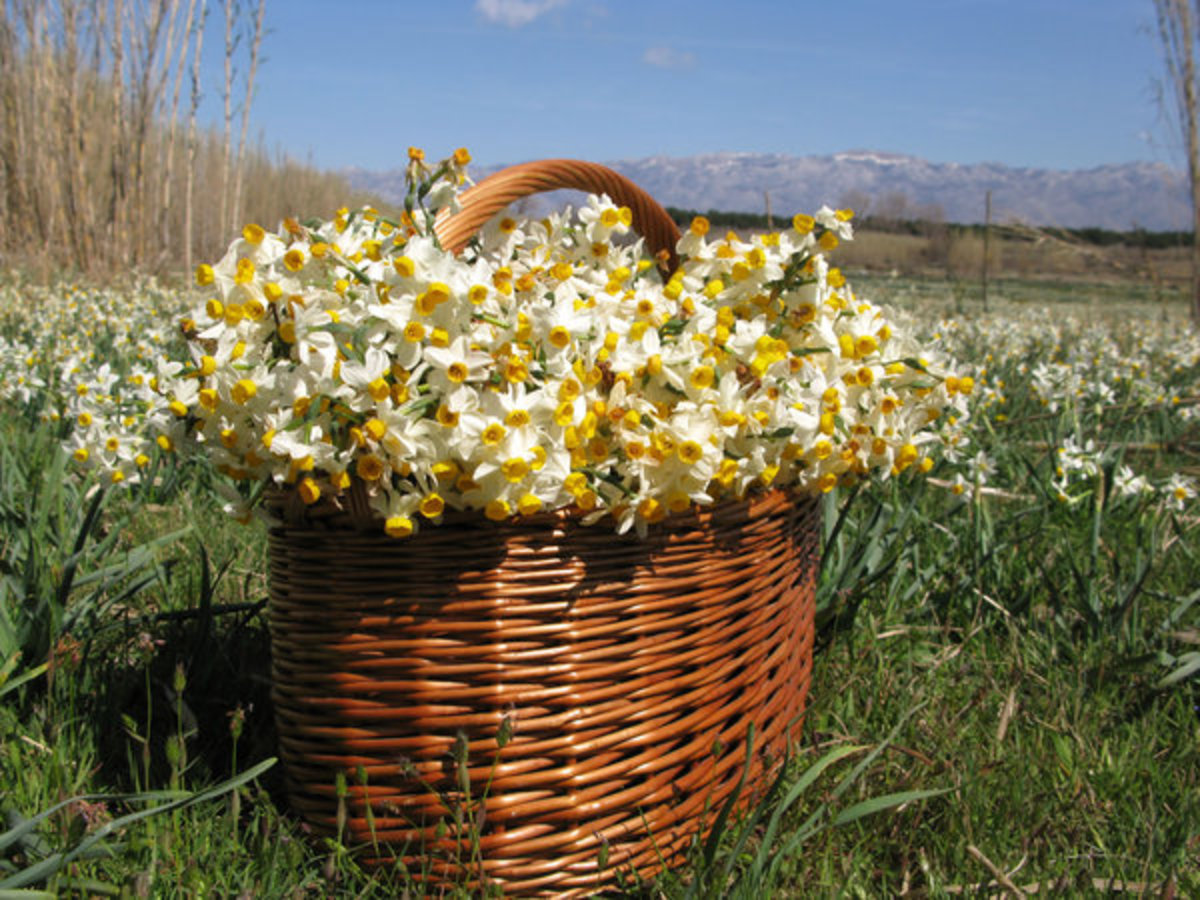 Daffodils in a Basket