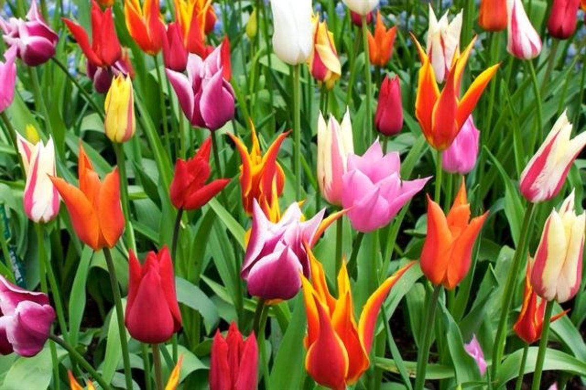 Tulips in Many Colors