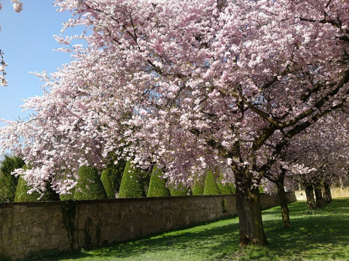 Cherry Trees in Schlossgarten