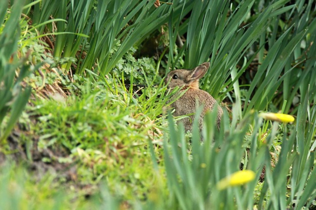 Bunny in the Daffodils