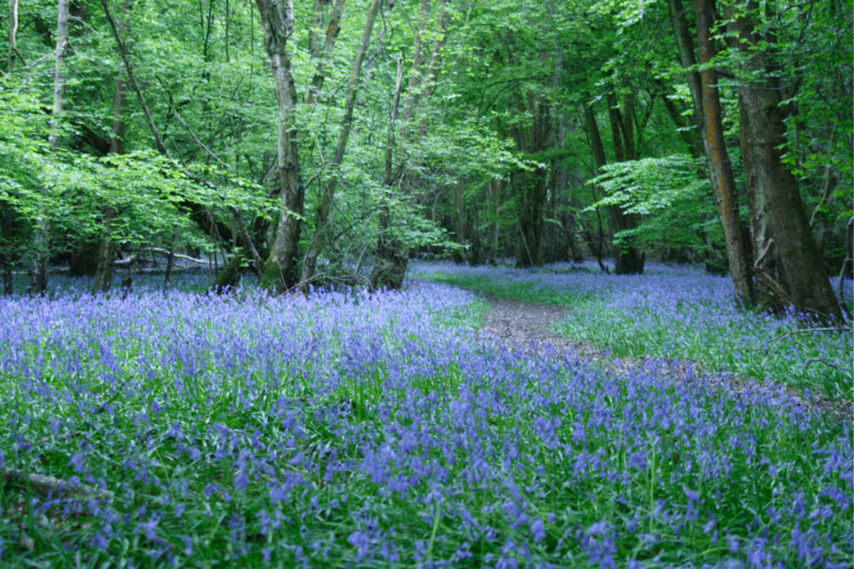 Blue Spring Flowers in the Forest