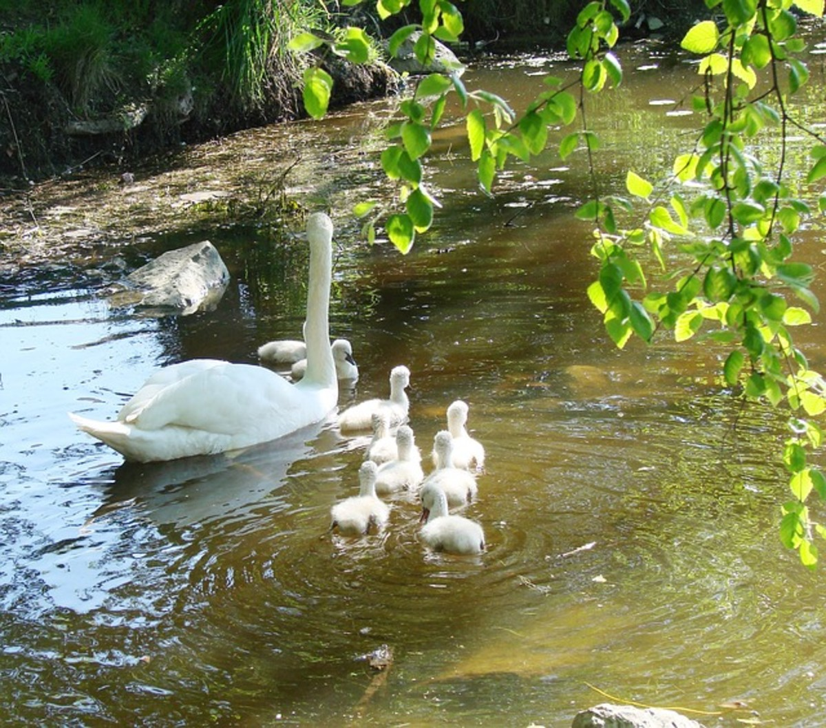 Mother Swan and Babies