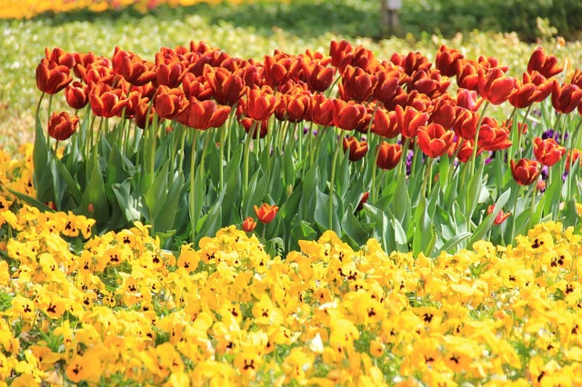 Red Tulips and Yellow Pansies