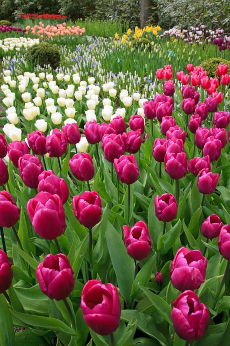 Formal Bulb Garden
