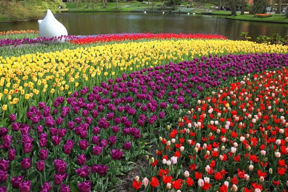 Tulips by a Duck Pond