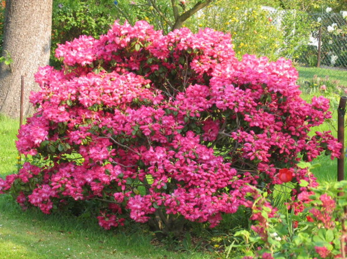Rhododendron Bush in Bloom
