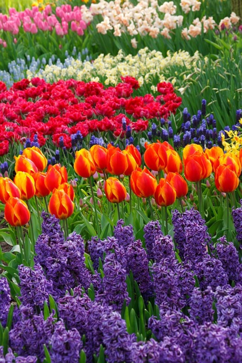 Purple Hyacinths and Tulips