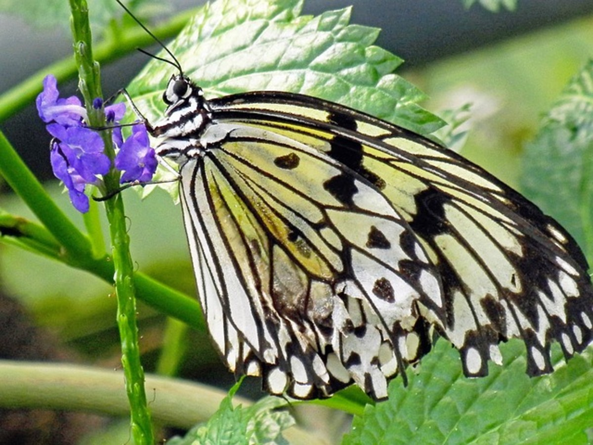 Swallowtail Butterfly on Purple Flower
