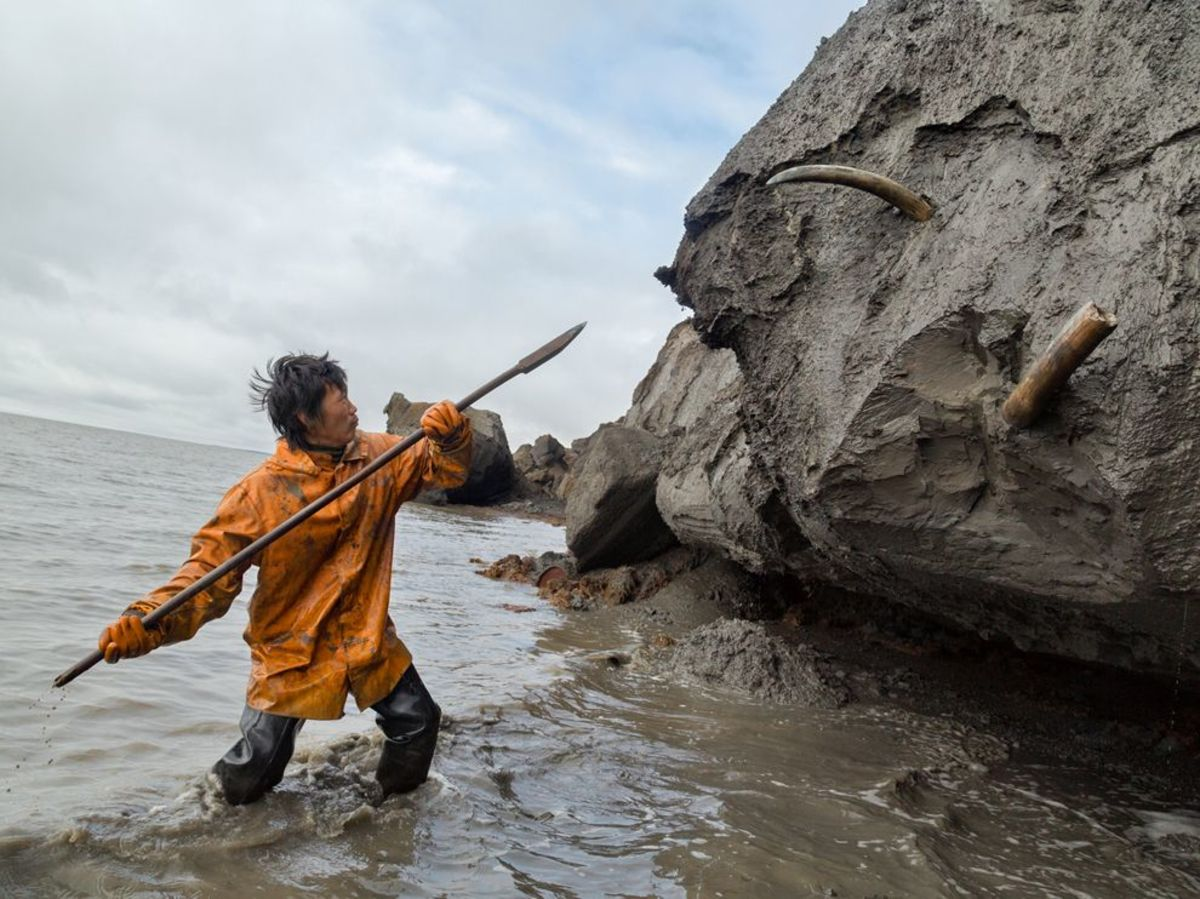 A tusk hunter digs out tusks from the receding shoreline.