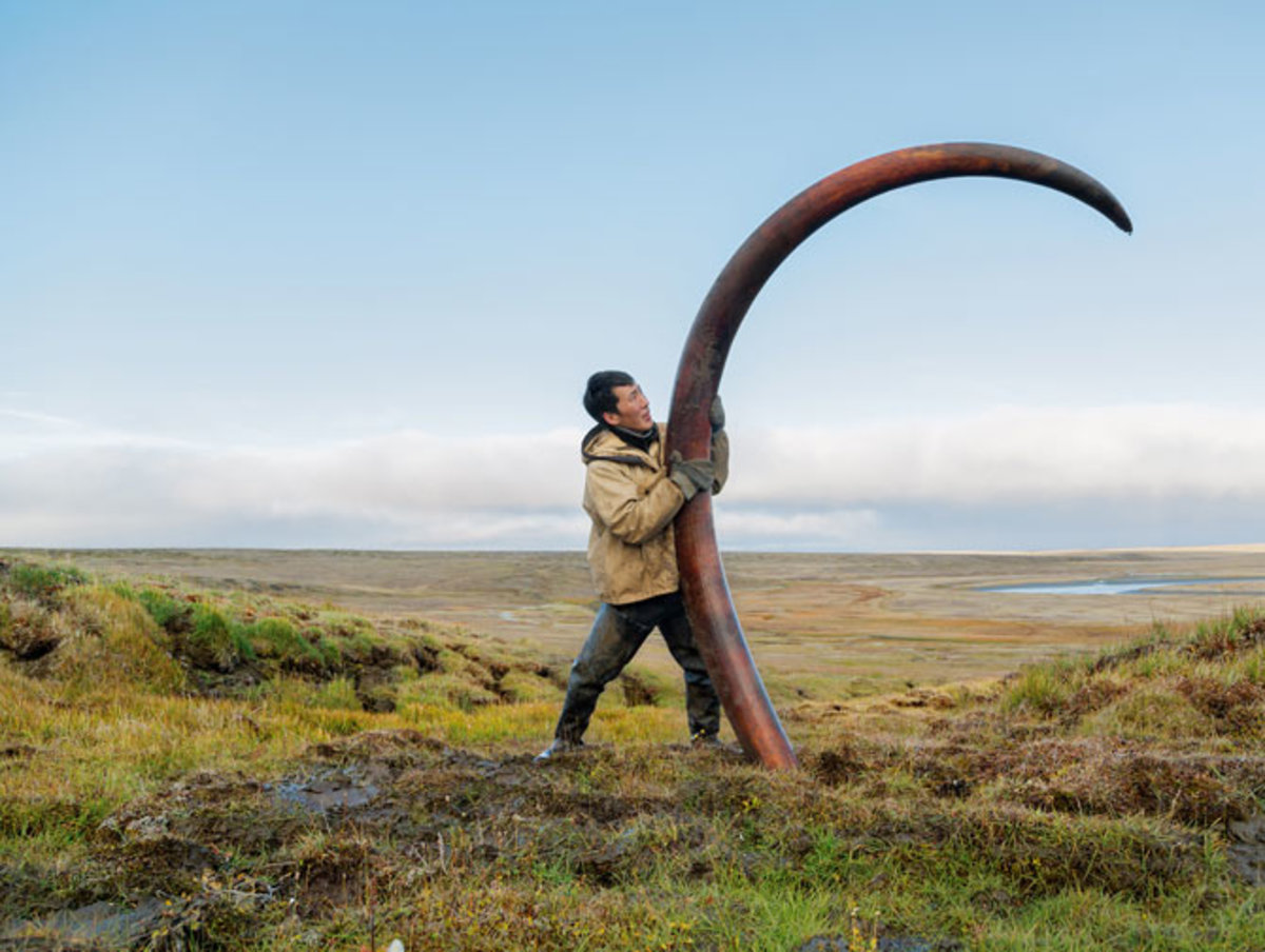 Mammoth Tusk Hunting, The Legal Ivory Trade In Ancient Tusks