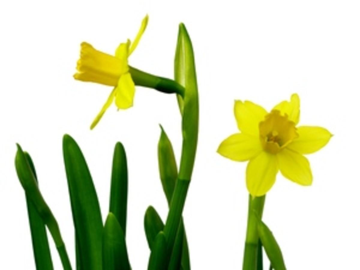 Two Garden Daffodils