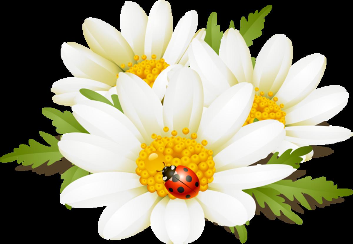 Ladybug and White Daisies