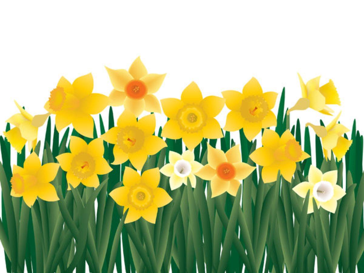 Garden of Daffodils
