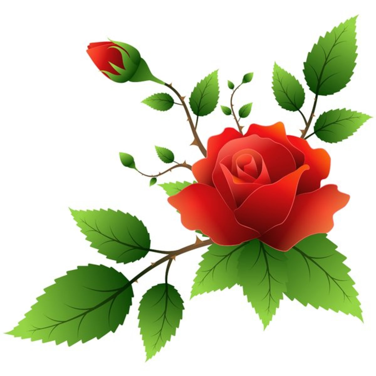 Perfect Red Rose and Rosebud