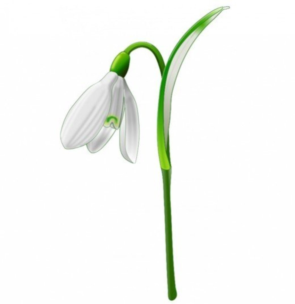 White Snowdrop Flower