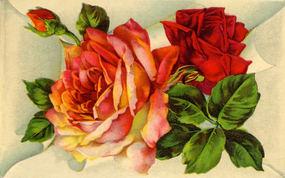 Two Old-Fashioned Parrot Roses