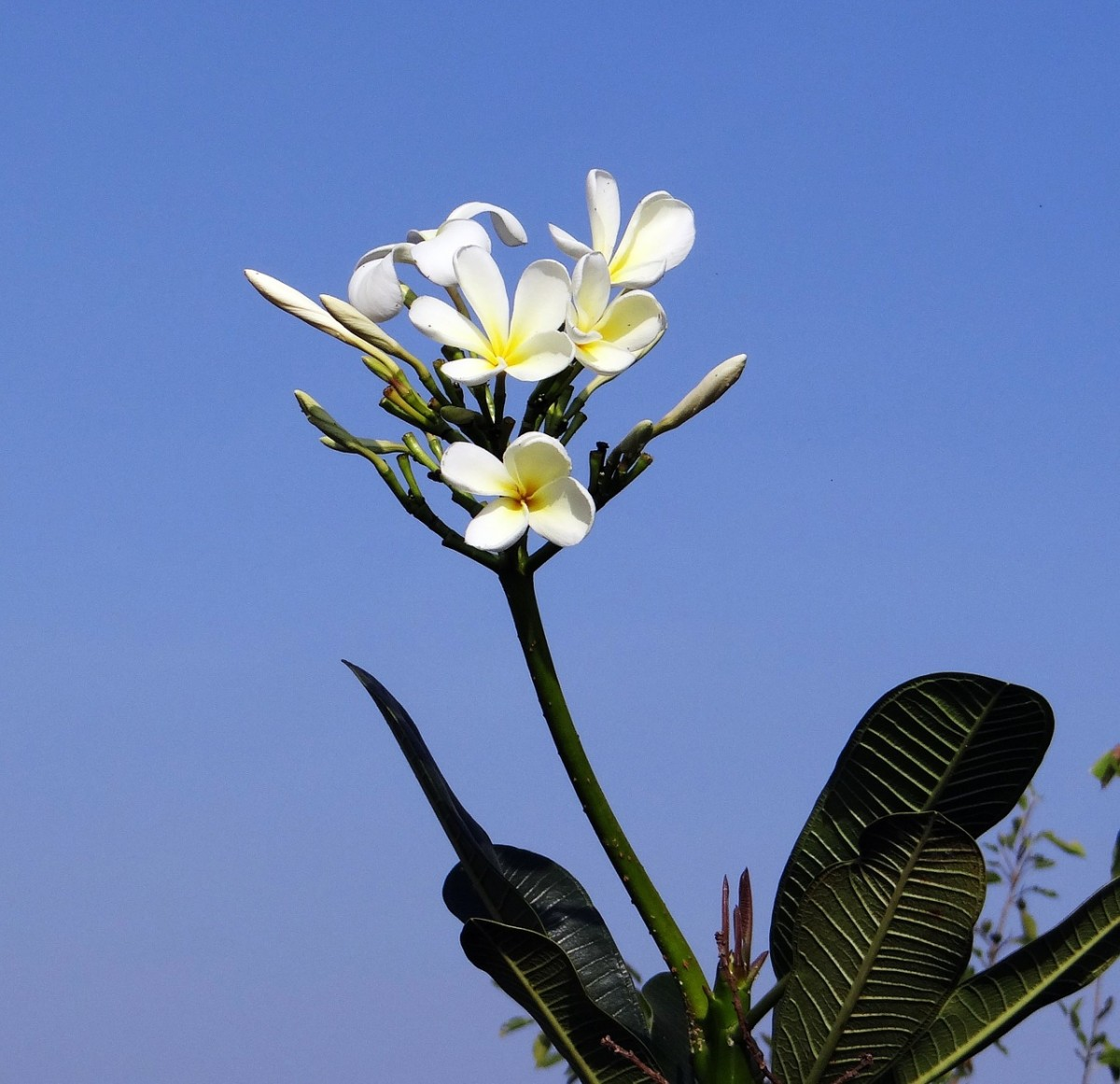Photo of Popular White Plumeria Flower In Plant : Photo from Pixabay