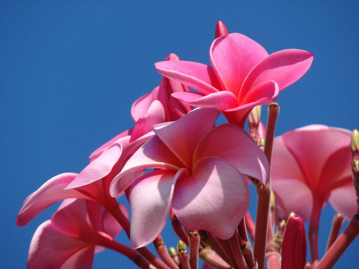 Pink Plumeria Flowers Image
