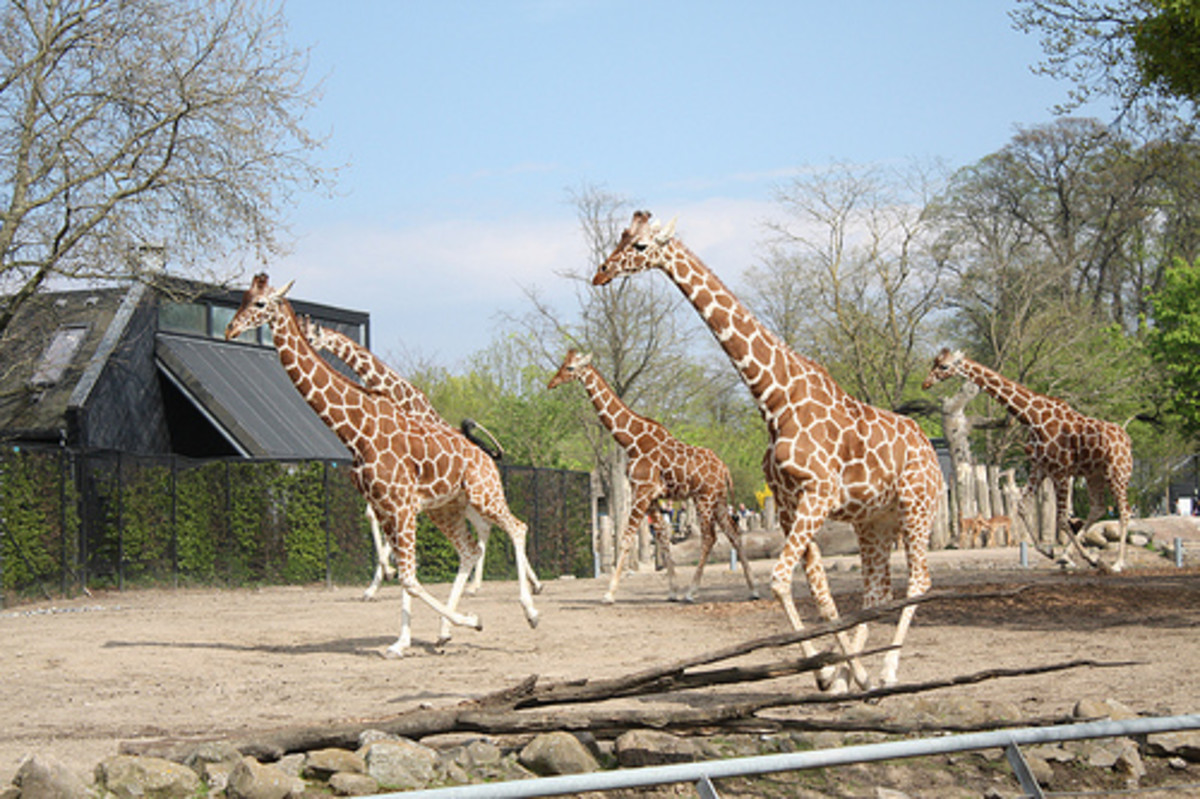 Giraffe herd at Copenhagen Zoo