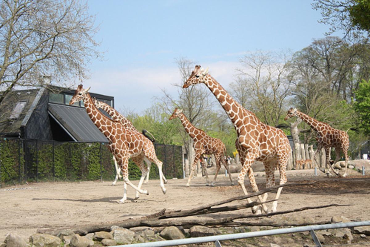 Giraffe herd at Copenhagen Zoo