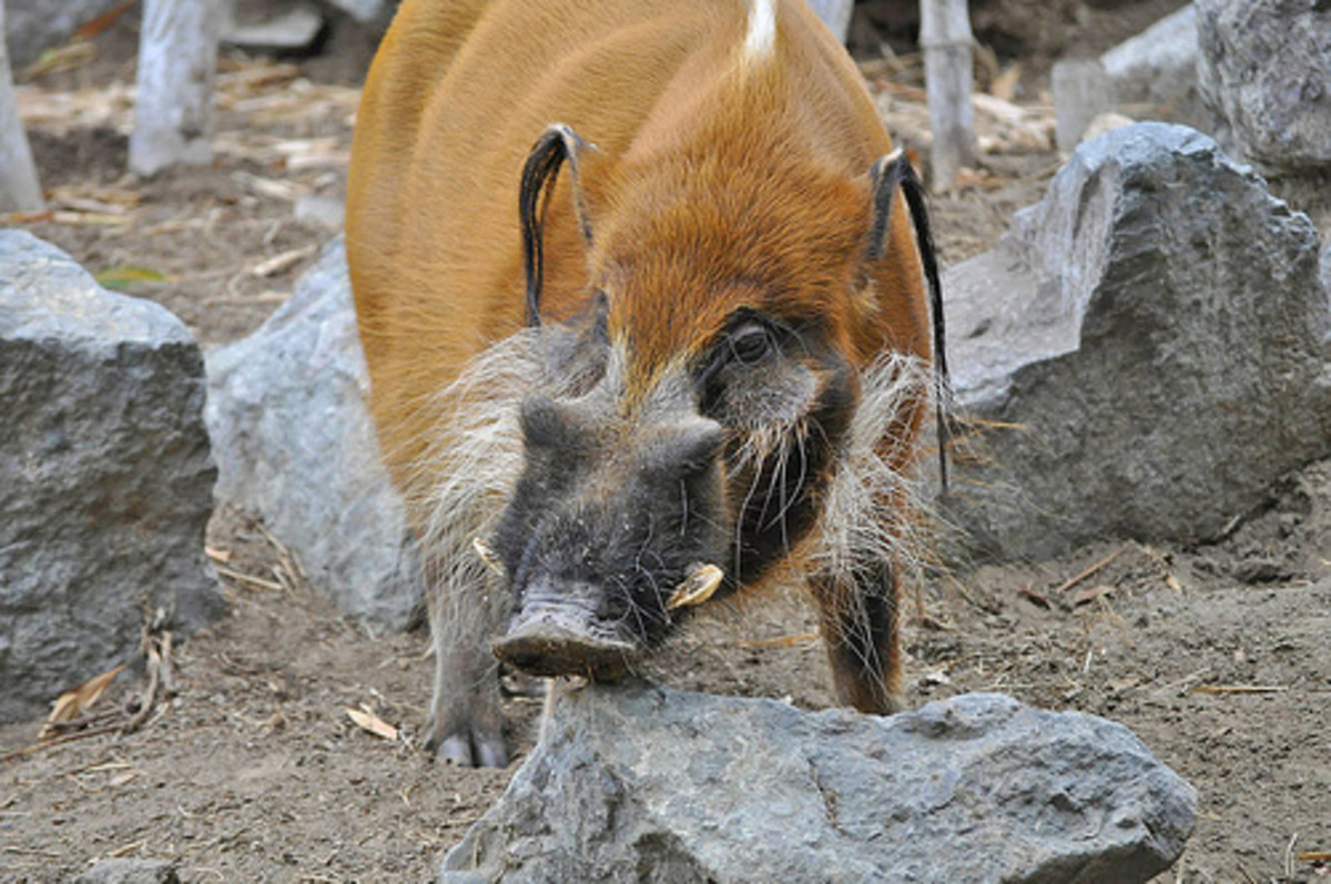 A red river hog cull doesn't receive the same attention