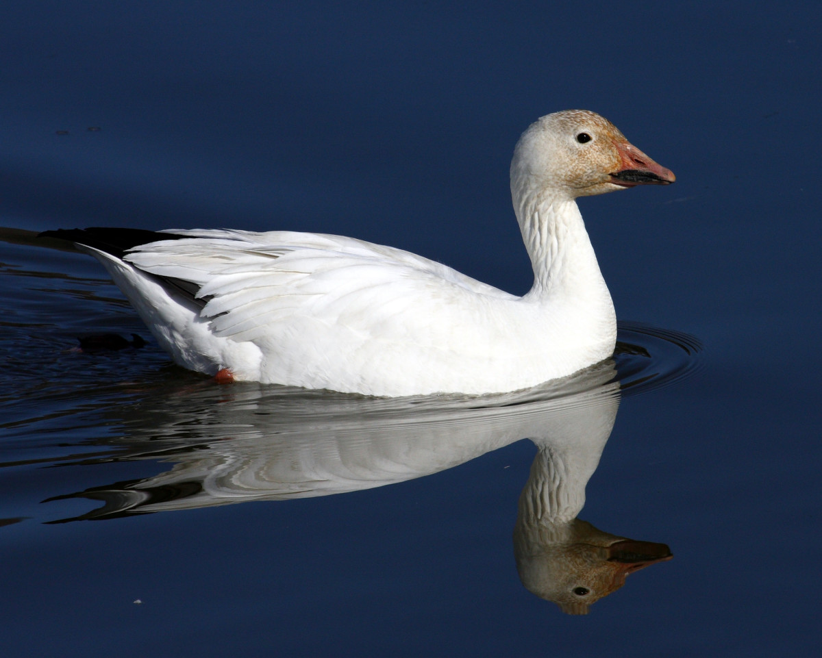 Lesser Snow Goose (Chen caerulescens) - By Adrian Pingstone, [Public domain], via Wikimedia Commons