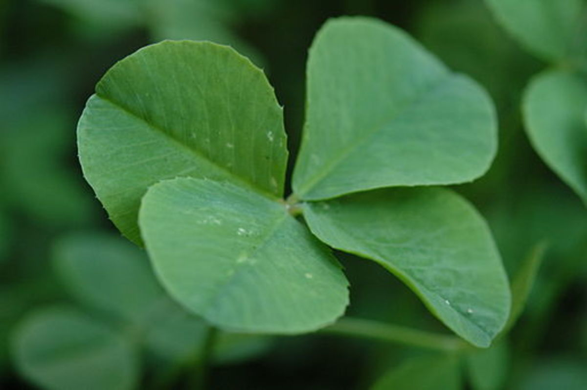 What are the Origins of the Superstition of the Four-Leaf Clover?