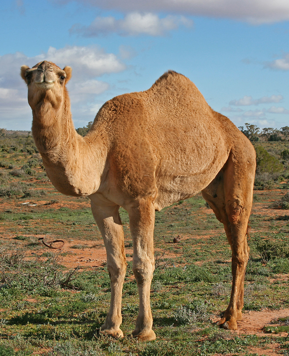 Dromedary Camel with One Hump