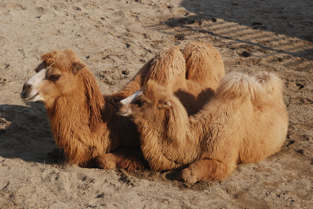 Bactrian Camels With Two Humps