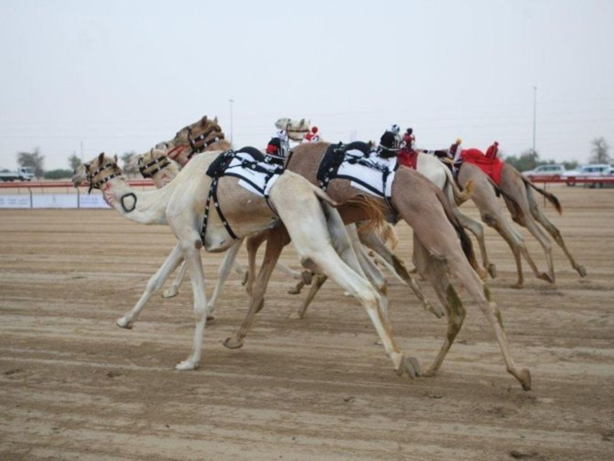 camel racing in the desert sands