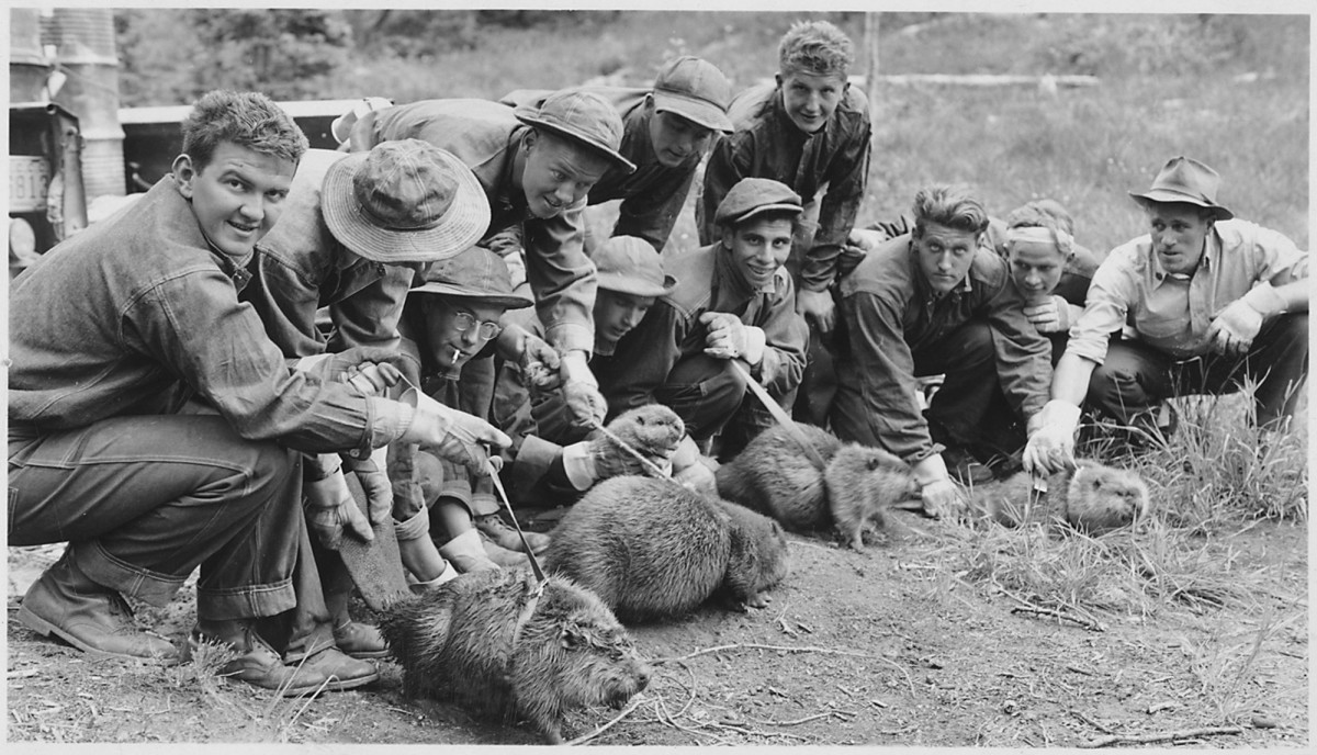 "Civilian Conservation Corps in Idaho, Salmon National Forest: Camp F-167, ""CCC boys... ready to transplant beaver from a ranch location where they were damaging crops to a Forest watershed location. circa 1938"