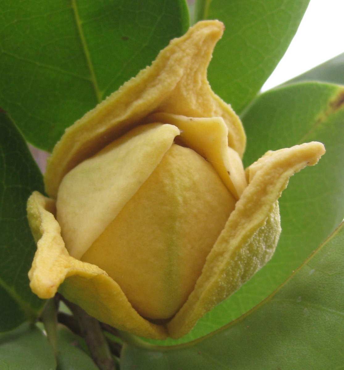 Soursop flower
