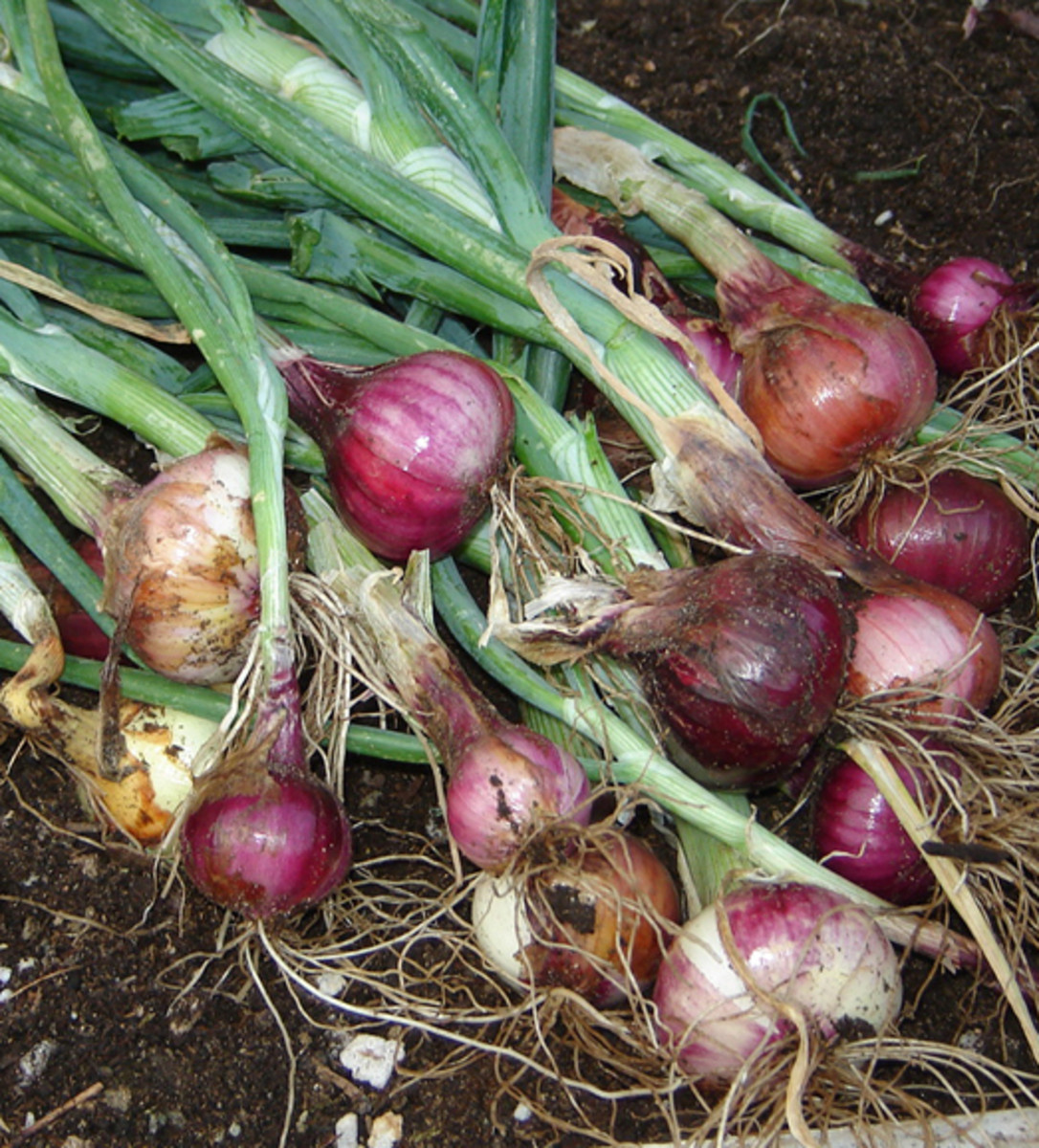 Onions harvested from raised garden beds. 2013 Harvest.