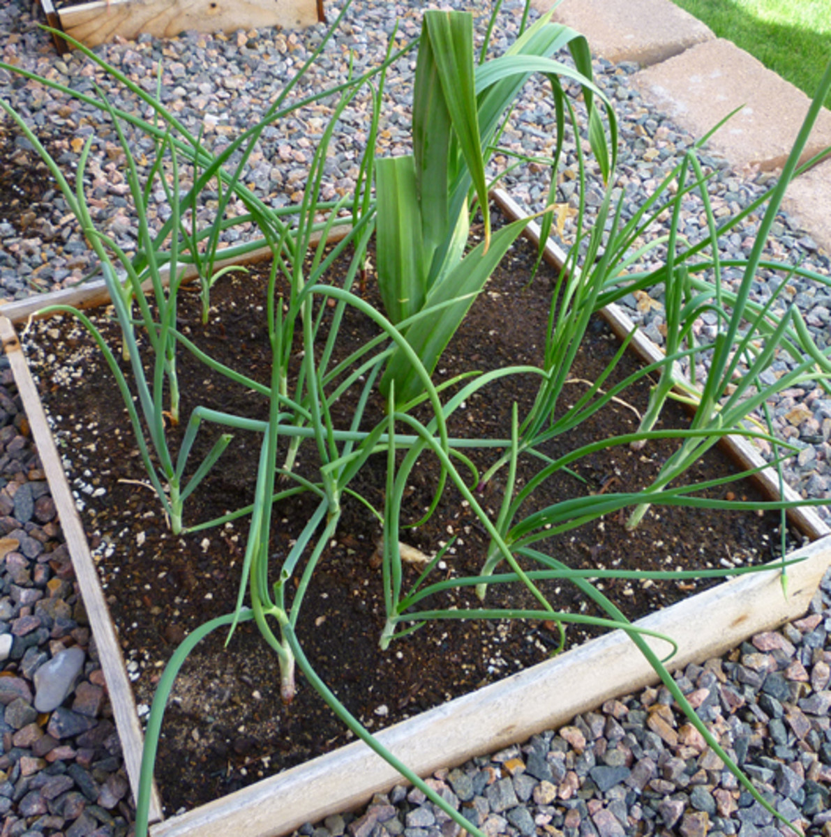 Yellow rock onions. Elephant Garlic is in the middle.