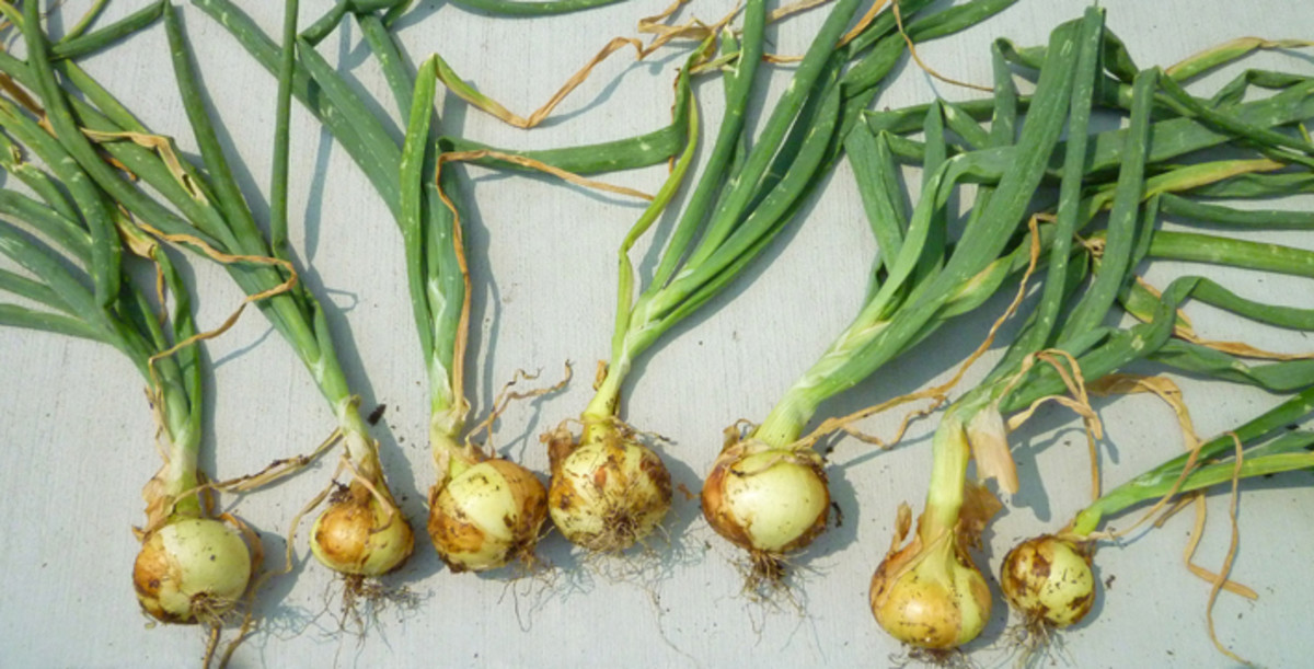 Yellow Rock onions harvested in 2012.