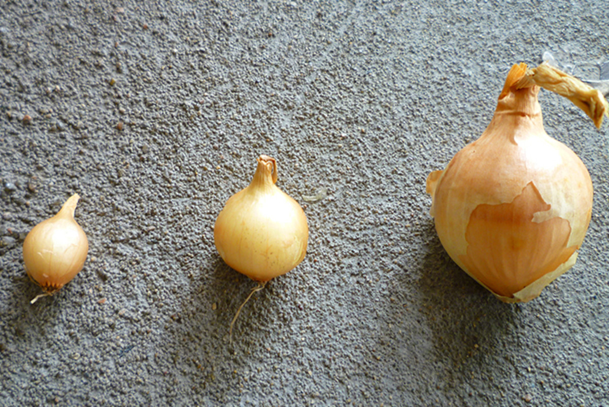 Variety of sizes that come with the bag of onion sets.