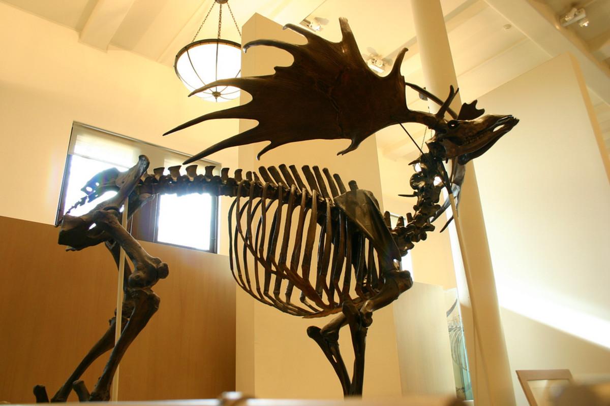 (Megaloceros giganteus)
