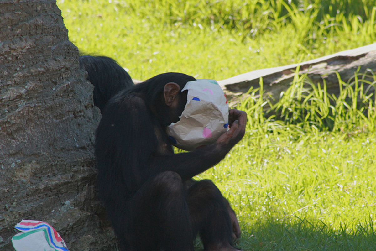 Chimp receiving 'enrichment', allowing their natural curiosity to be on display