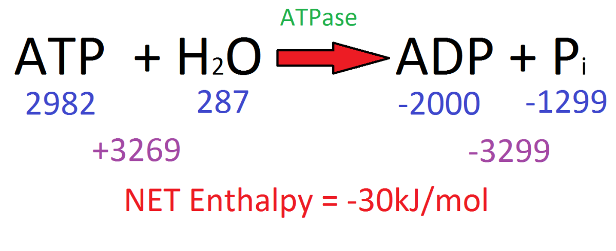 Looking at the enthalpy change between reactants and products shows that hydrolysing ATP releases around 30kJ/mol of energy.