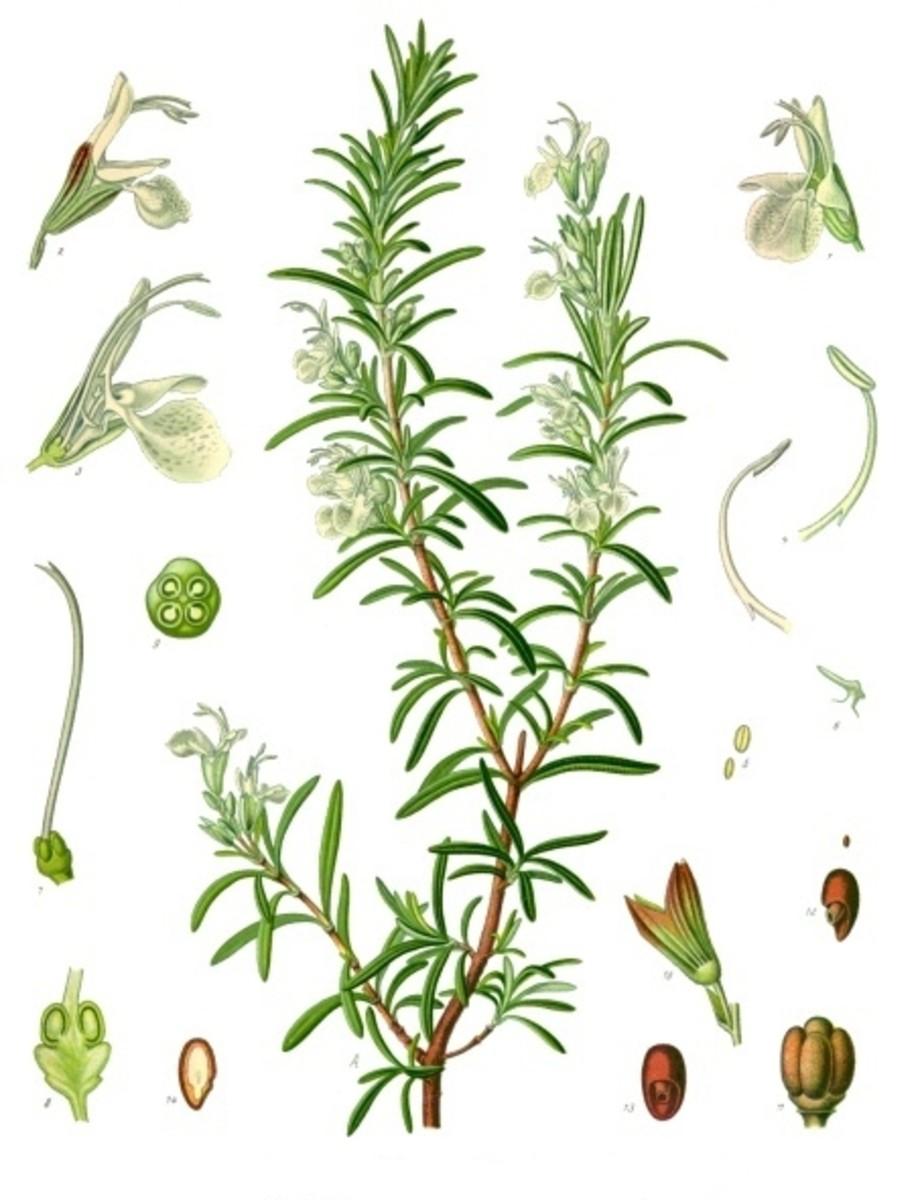 Rosemary Herbal Print.