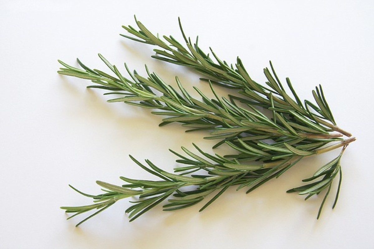 lessons-in-magical-herbalism-rosemary