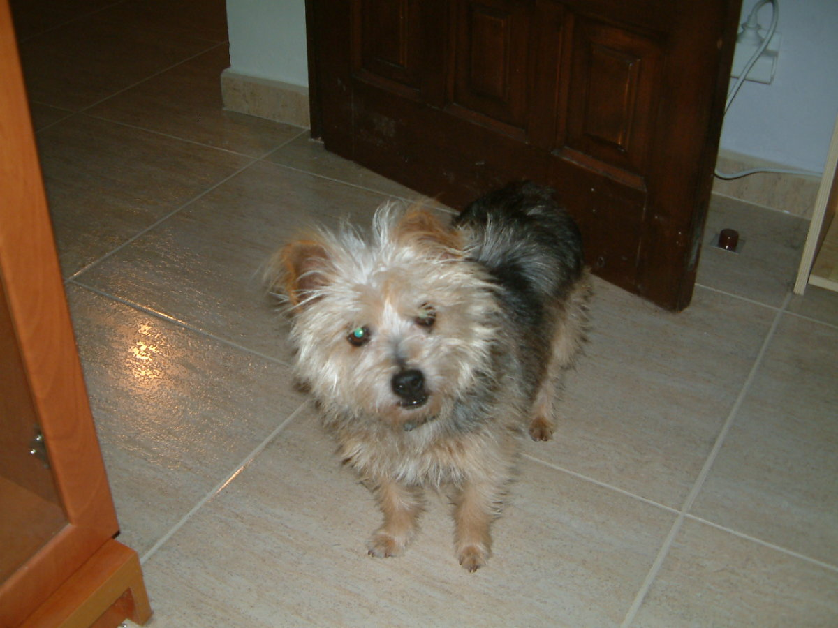 My 19 year old Yorkshire terrier Gonzo