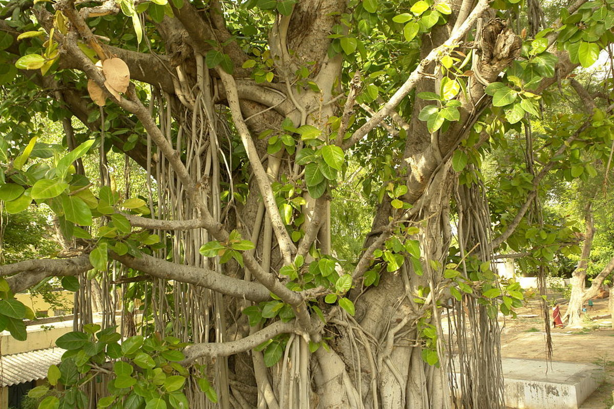 The trunk and leaves of an Indian banyan tree