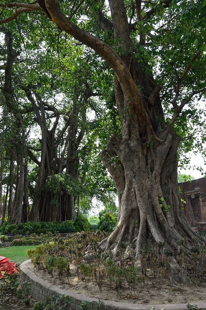Indian Banyan Tree And Peepal Tree