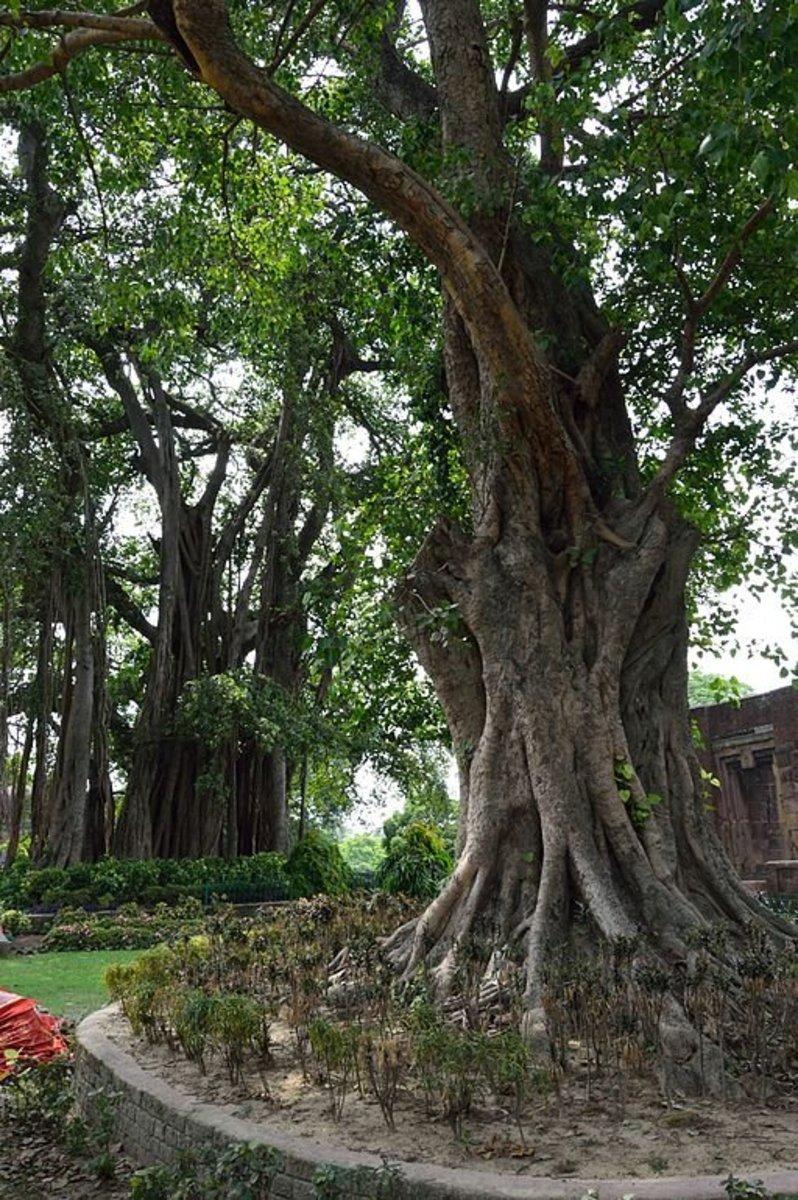 Indian Banyan Tree And Peepal Tree